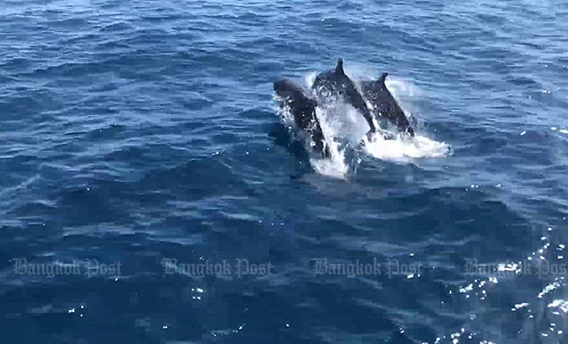 Rare false killer whales, dolphons emerge near Koh Tao
