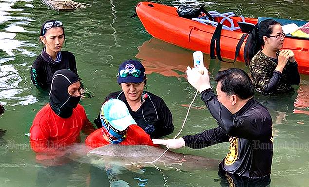 Nursing baby dugong