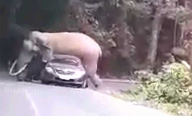 Elephant lies down on visitors' car in Khao Yai