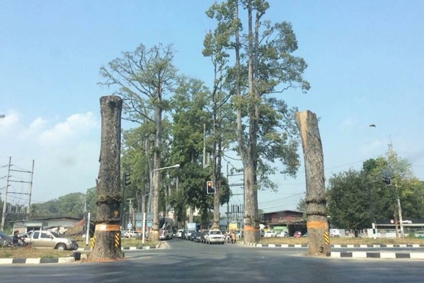 Iconic old Yang Na trees cut down in Chiang Mai