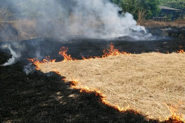 Rice straw (above), corn fields and sugar cane crops are three of the top targets for fires intentionally set by farmers. (File photo)