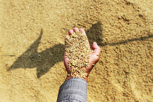 Thailand's rice production has been low for years at an average of 300kg per rai. (Photo by Seksan Rojjanametakun)