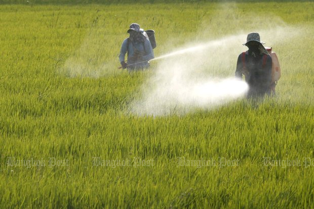 Farmers spray pesticide in a rice field in Chachoengsao. (Photo by Pattarapong Chatpattarasill)