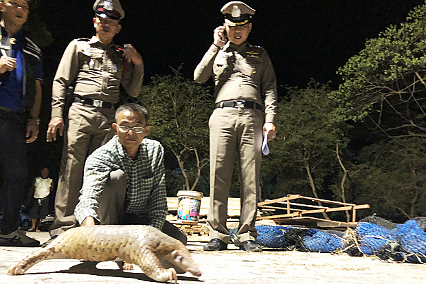 A pickup driver was arrested with 75 live pangolins concealed under lumber in Prachuap Khiri Khan on Saturday night. (Photo by Chaiwat Satyaem)