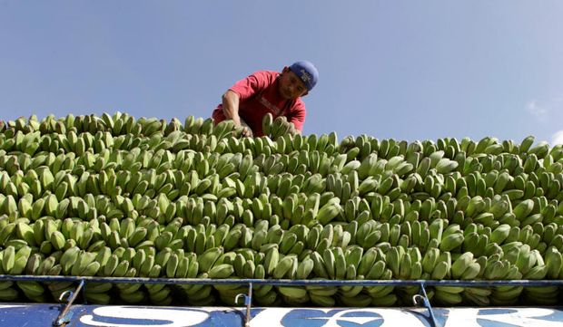 A farmer arranges bananas atop a cargo vehicle to be transported to vendors in Manila, in Magsaysay, Occidental Mindoro in central Philippines Feb 23, 2013. (Reuters file photo)