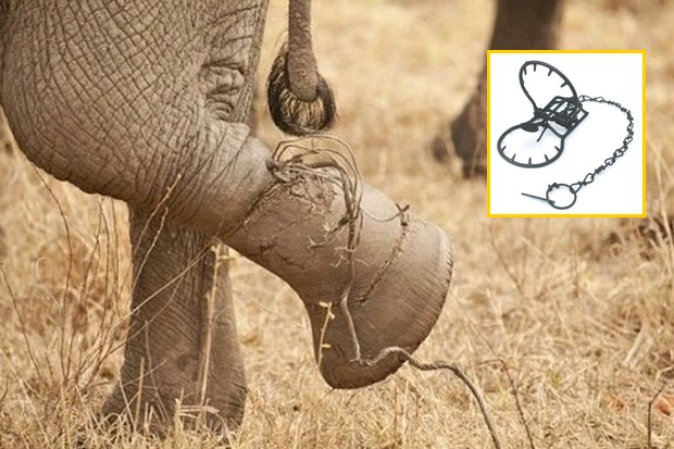 Illegal steel traps and snares like these, even if not meant to harm elephants, are doing damage to the wild herds in Thai national parks. (Photos provided)