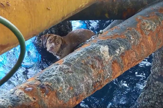 A dog is found under an oil platform in the Gulf of Thailand. He was rescued later. (Photo from Vitisak Payalaw Facebook)