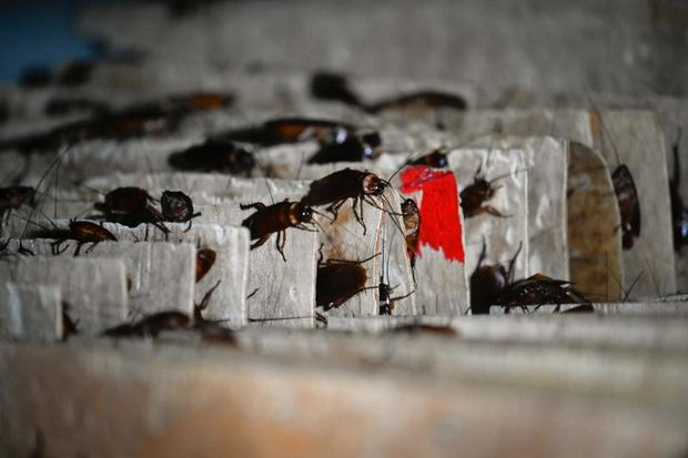 Crunchy delight: Chinese farmer breeds roaches for the table