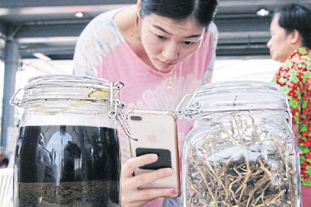 Getting up close: A woman takes pictures of jars containing marijuana oil and dried marijuana leaves put on display at a marijuana fair held in buri Ram.