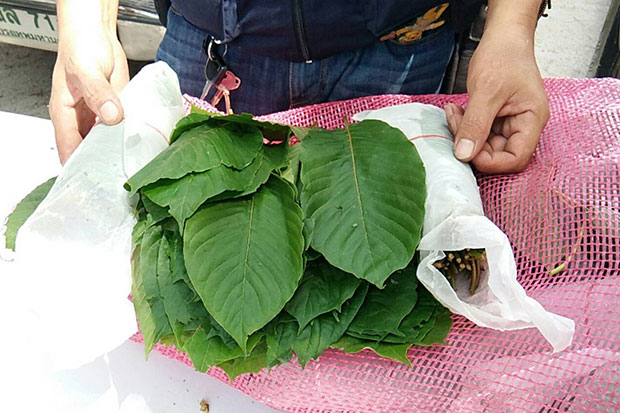 An official shows fresh kratom leaves in one of 123 sacks containing 1,230 kilogrammes of the leaves seized at a border area in Sdao district, Songkhla, on Tuesday. (Photo by Assawin Pakkawan)
