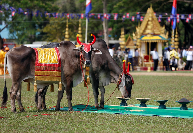 Cambodia's royal oxen eat during a royal ploughing ceremony in Takeo province, Cambodia, on Wednesday. (Reuters photo)