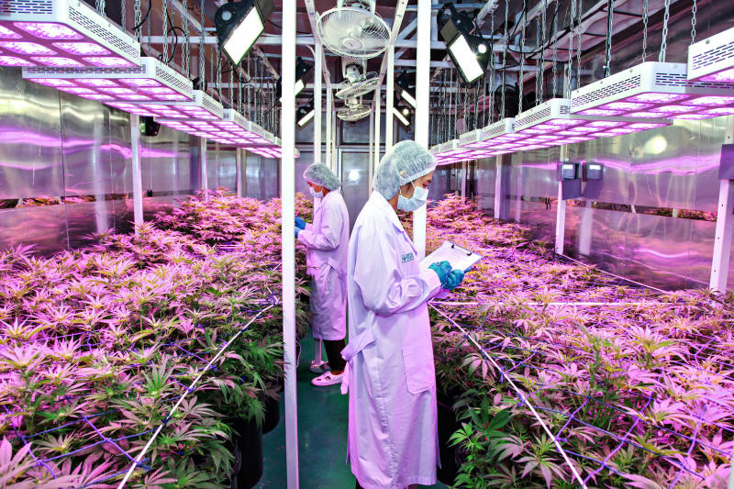 Marijuana plants bear flowers in a controlled environment inside an enclosed facility, run by the Government Pharmaceutical Organisation (GPO). (GPO photo)