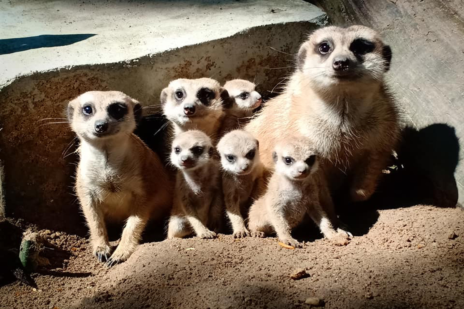Meerkats are the star attractions at Songkhla zoo in Songkhla. (Photo from @SongkhlaZooPage Facebook account)