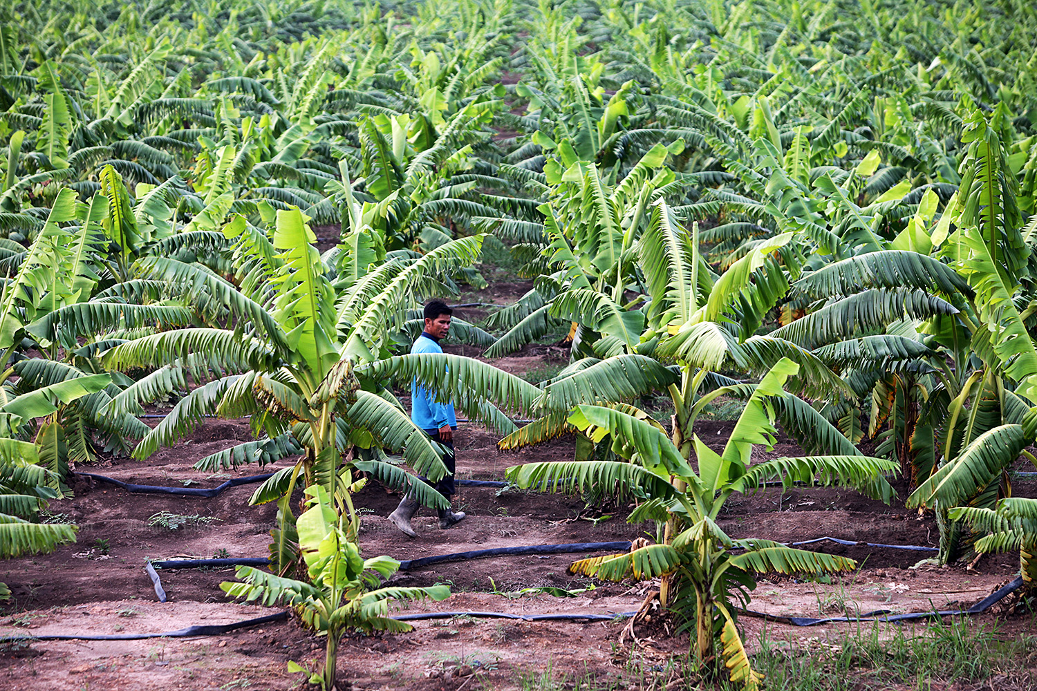Banana plantation. (Bangkok Post file photo)