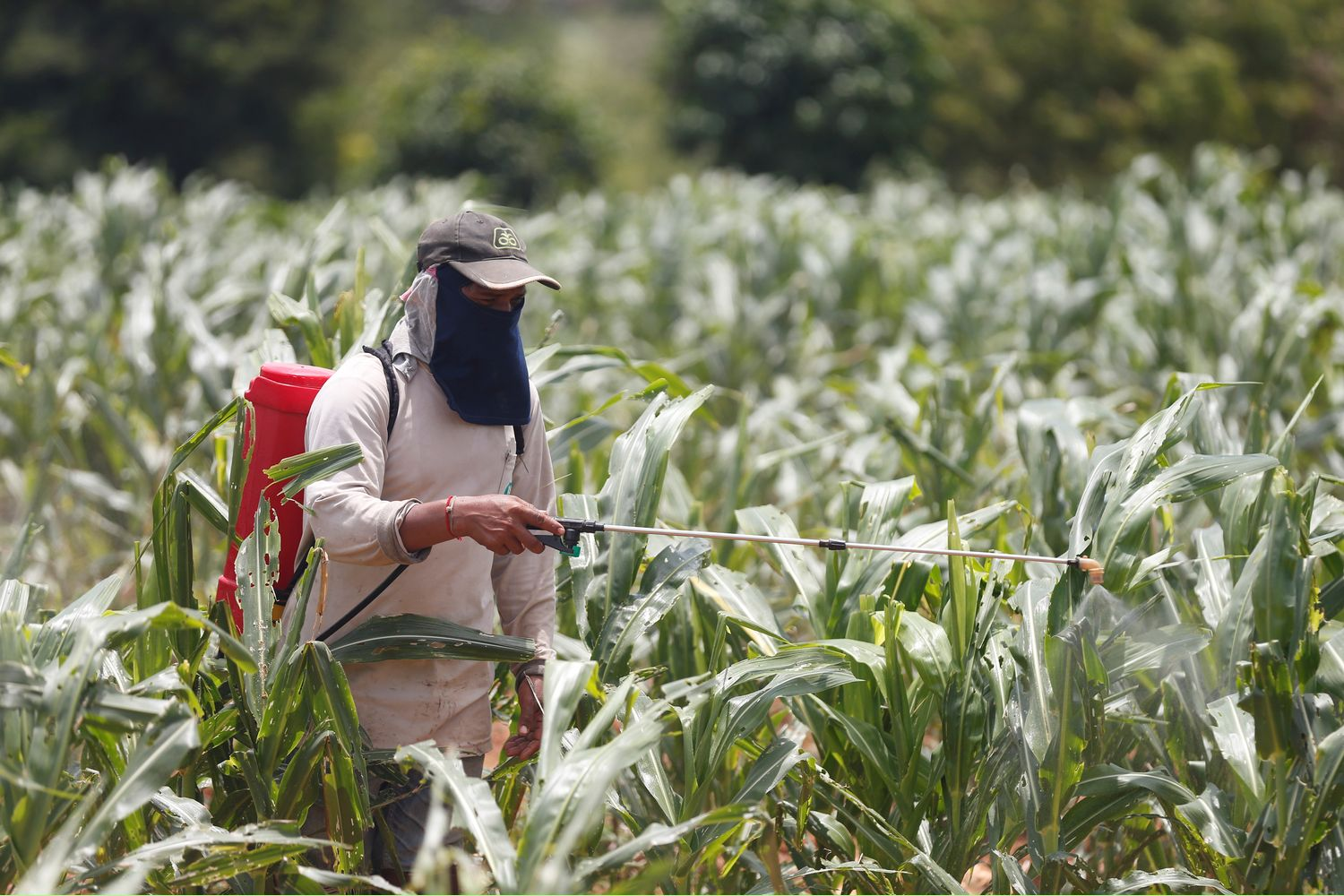 A worker sprays insecticides at a maize field destroyed by Fall Army Worm at Pak Chong district, Nakhon Ratchasima, on Wednesday. (Reuters photos)