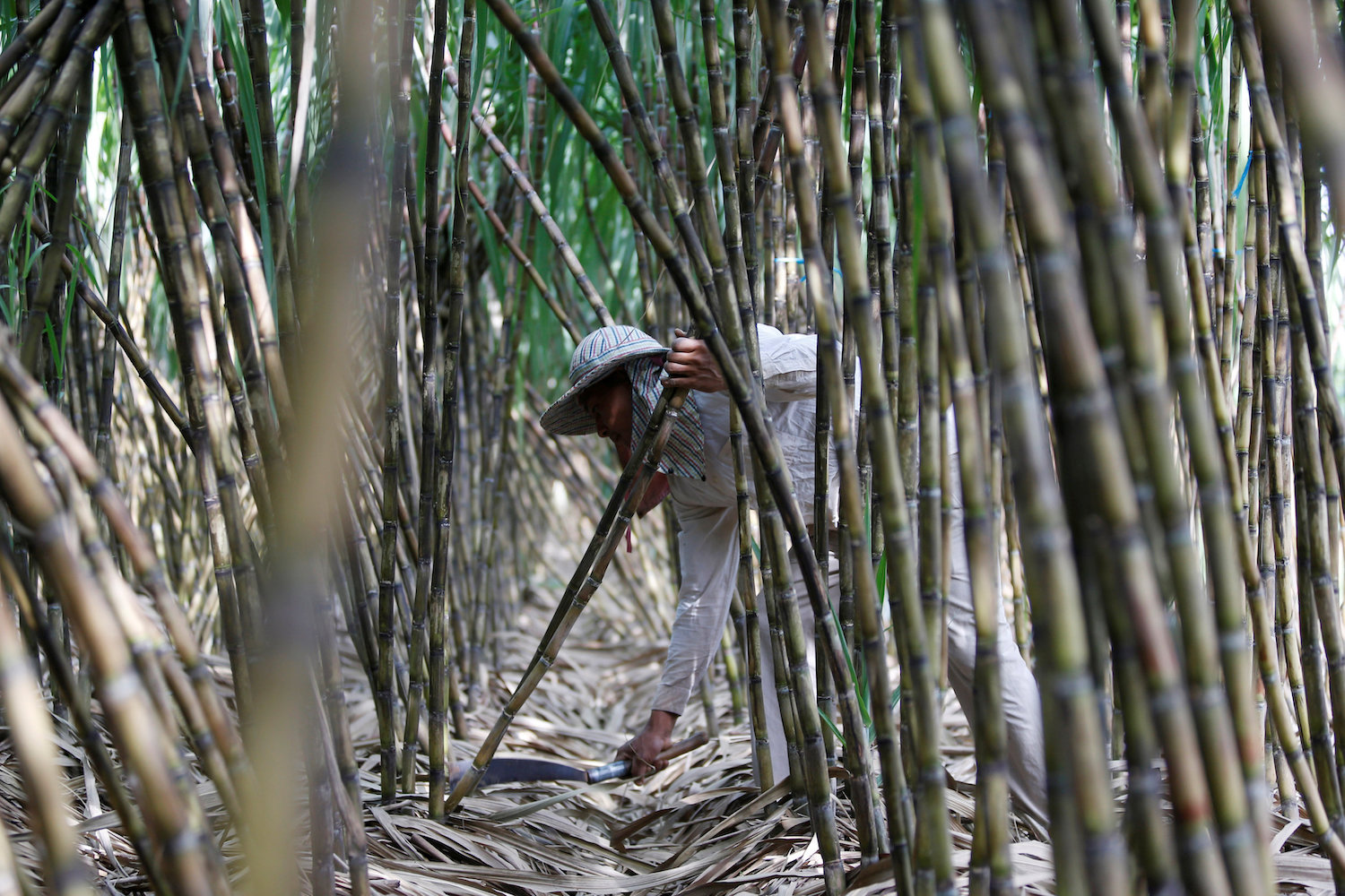 A man collects sugar cane at his farm in Kandal province of Cambodia. (Reuters Photo)