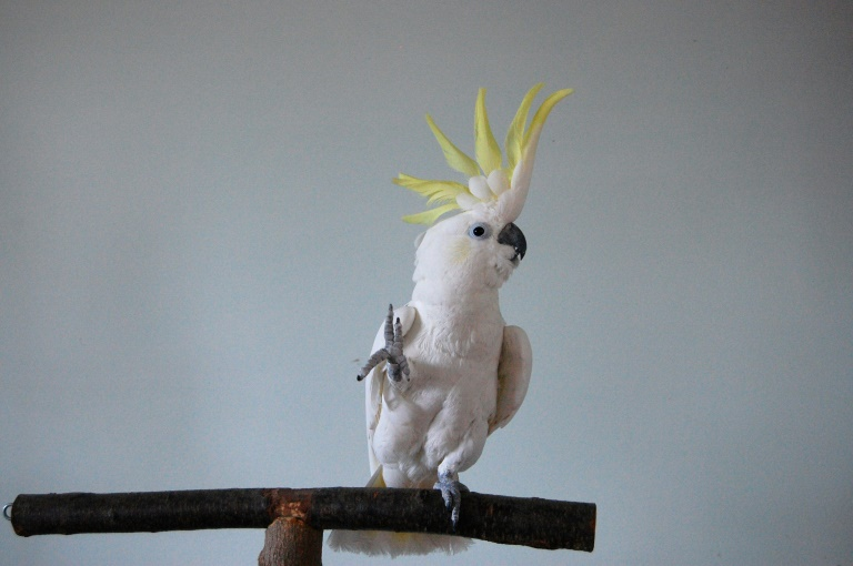 Cockatoo choreographed his own dance moves