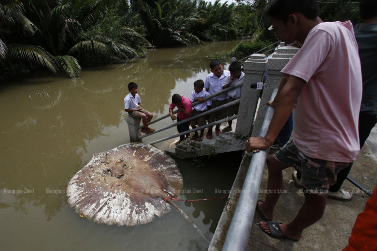 A dead giant stingray floats in front of Wat Khu Thamsathit in Khlong Bangkantaek, which is linked to the Mae Klong River, in Samut Songkhram's Muang district, on Oct 7, 2016. (Photo by Pattarapong Chatpattarasill)
