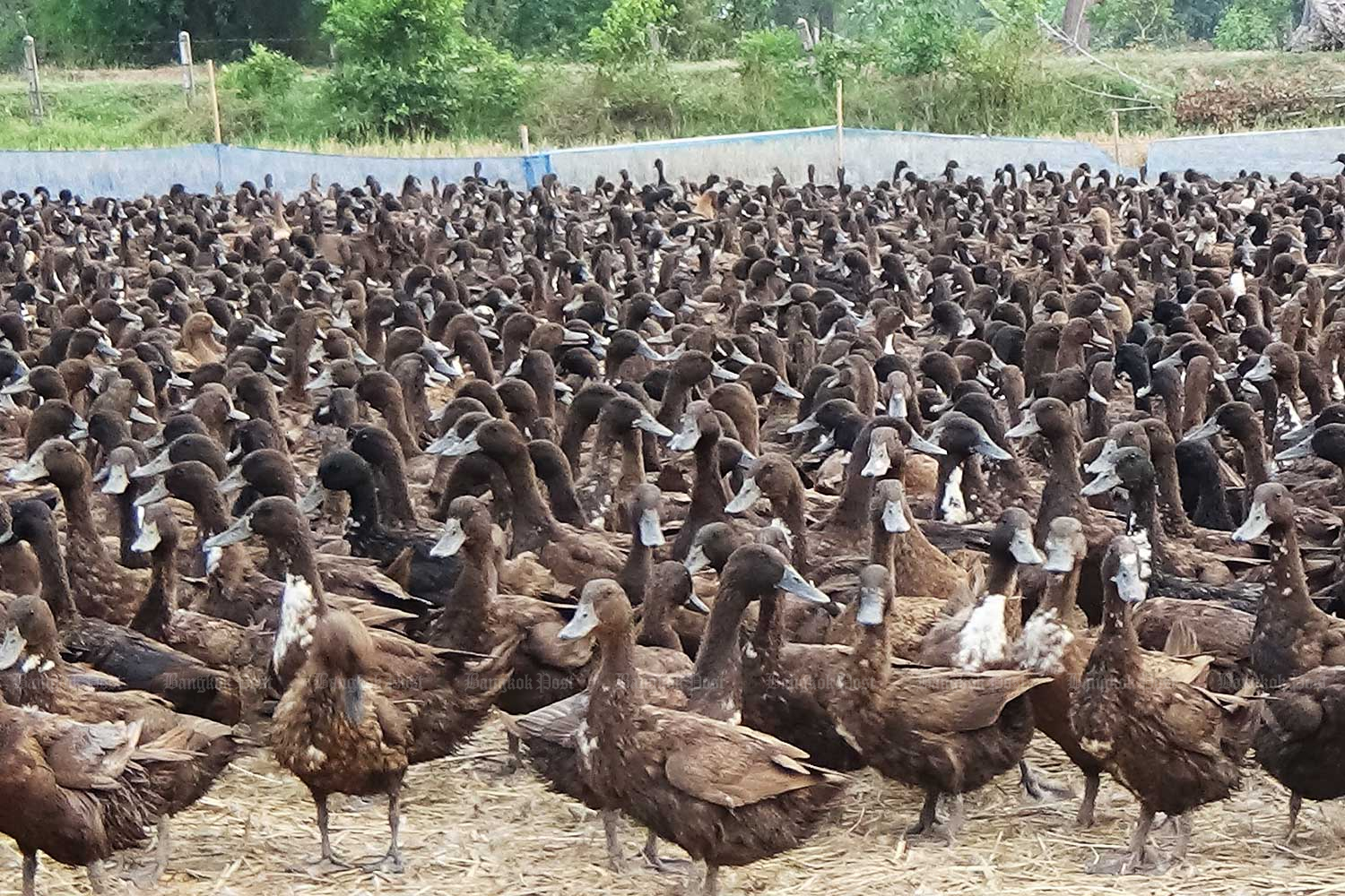 Free-ranging duck raisers are hit by drought. (Bangkok Post file photo)