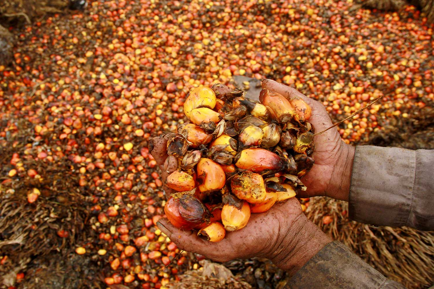A worker shows palm oil fruits at a palm oil plantation in Topoyo village in Mamuju, Indonesia. (Antara/Reuters photo)