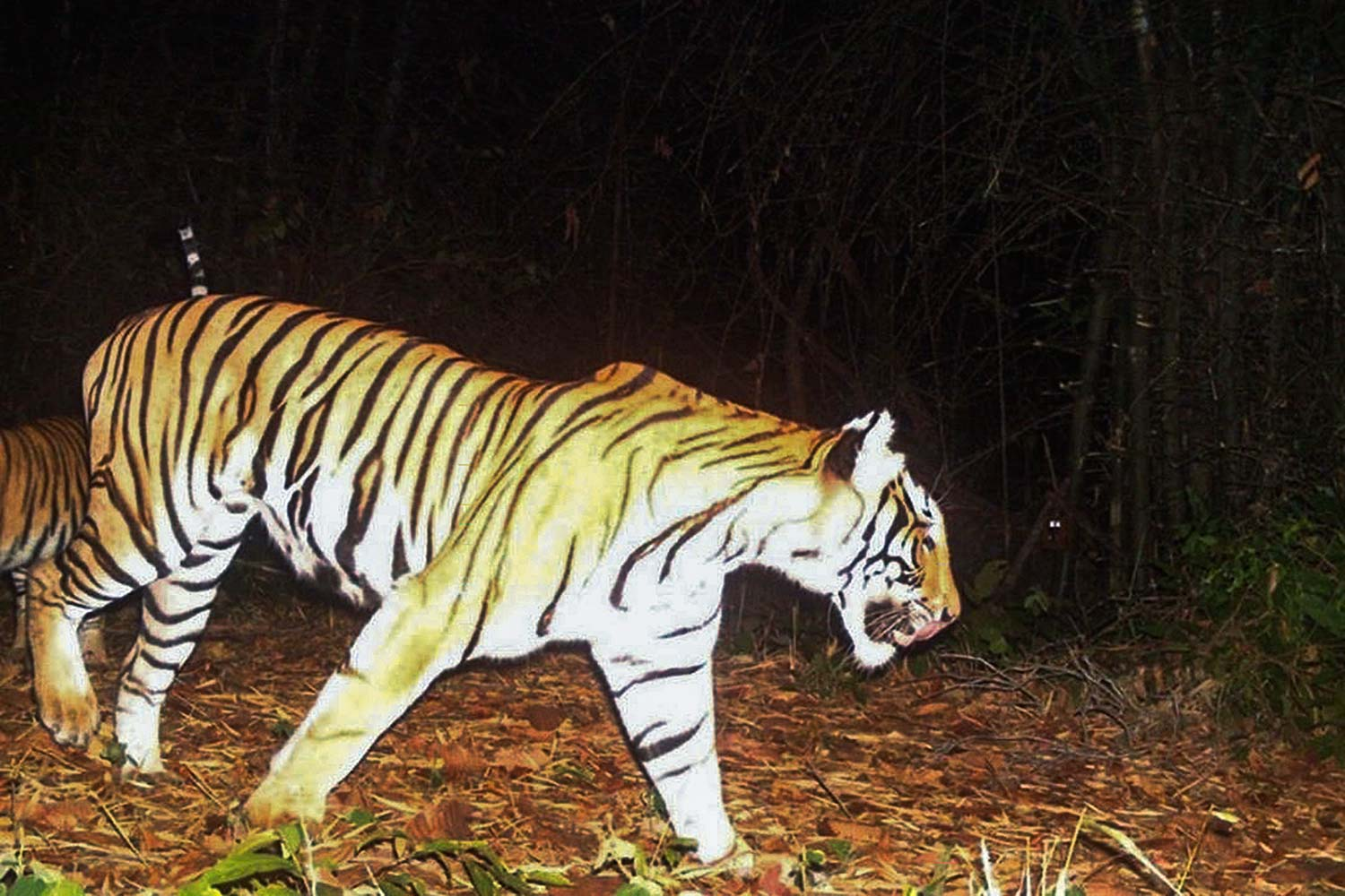 A tiger is photographed hunting for food at night in Huai Kha Khaeng Wildlife Sanctuary.