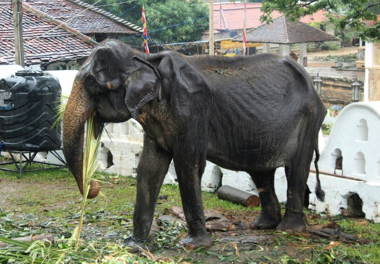 Wildlife authorities are investigating how the emaciated 70-year-old elephant was forced to take part in a parade.