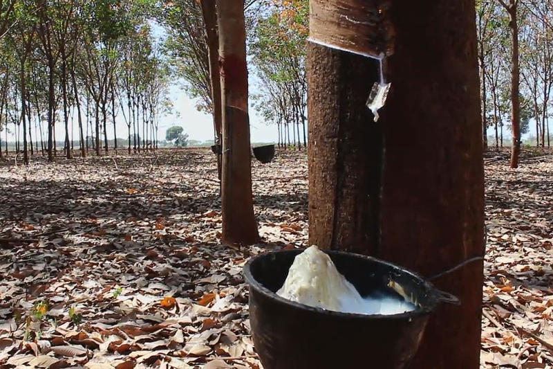 A rubber plantation in Soeng Sang district of Nakhon Ratchasima. (Photo by Prasit Tangprasert)