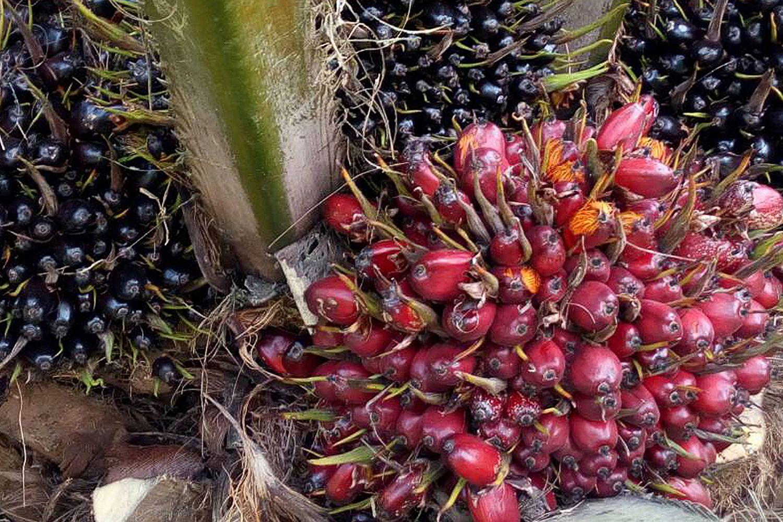 Palm nut price set at 4 baht a kilo