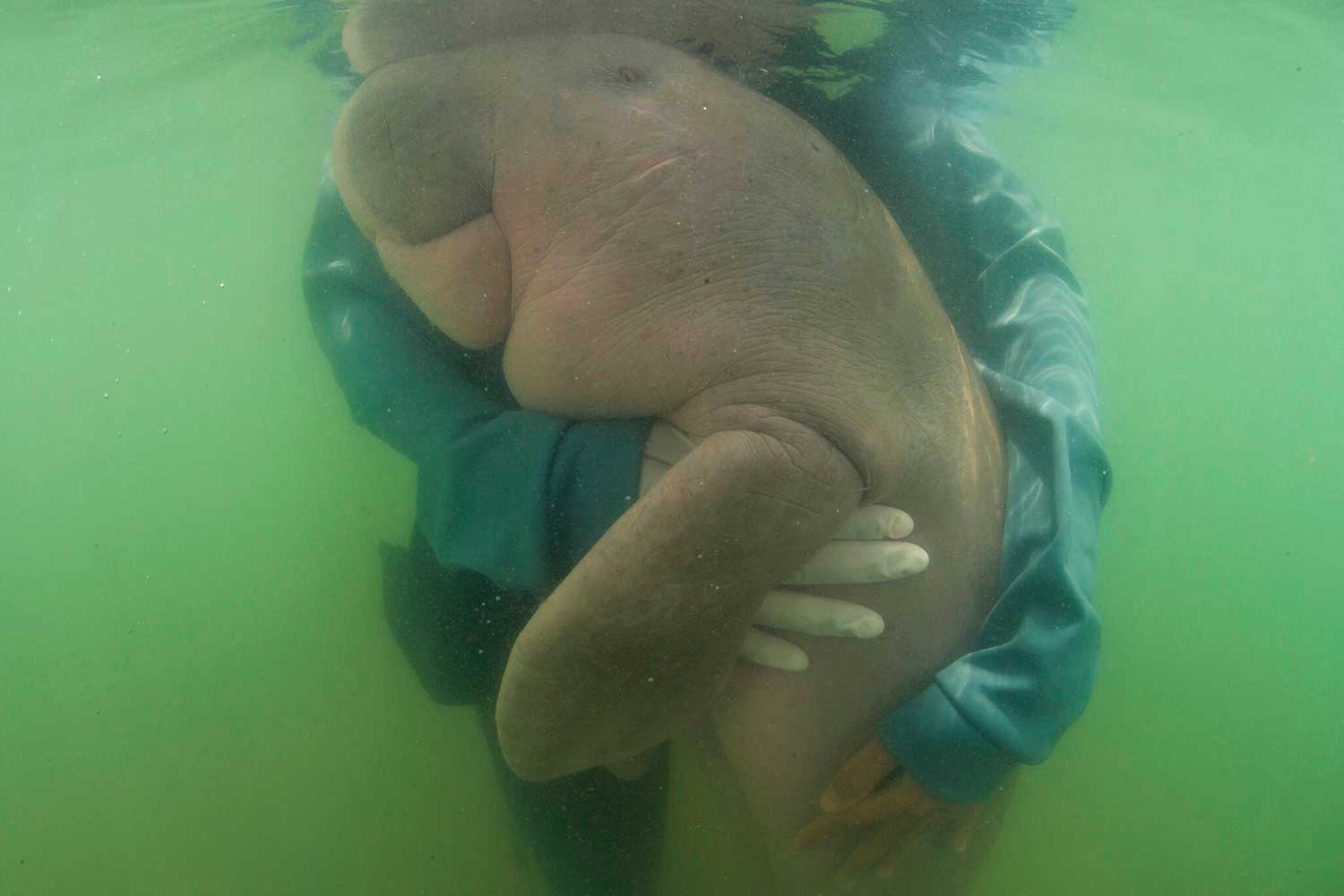 An official of the Department of Marine and Coastal Resources hugs Marium off Koh Libong on May 23, 2019. AP refiled the picture after the young dugong died on Aug 17 and it was shared by actor Leonardo DiCaprio on his Instagram on Sunday. (AP photo)
