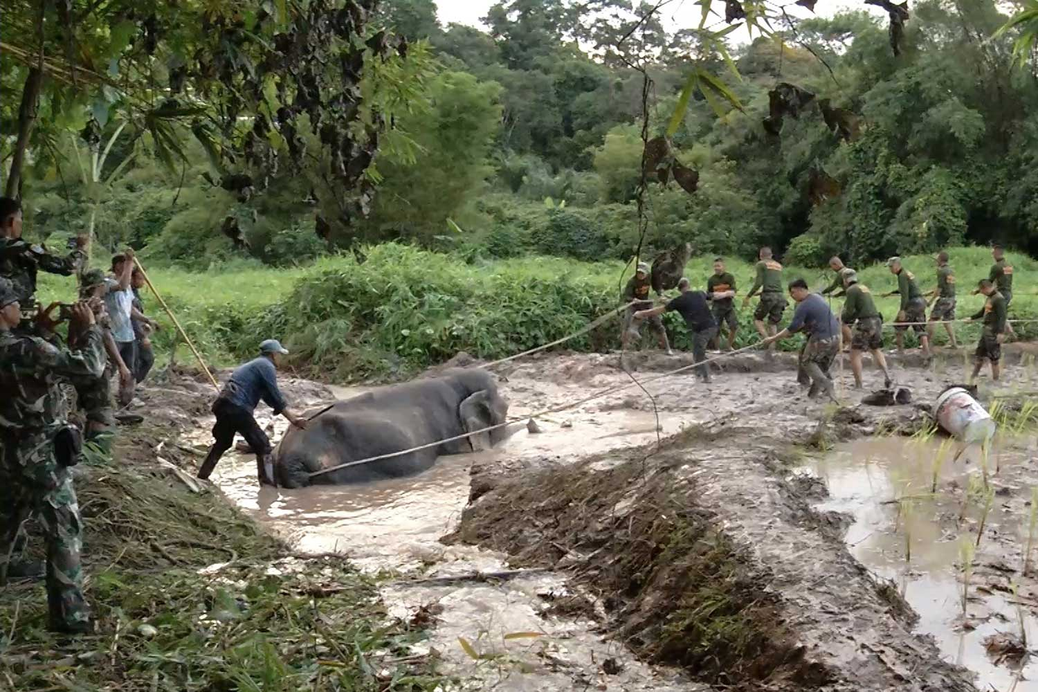 Park rangers pull a wild elephant from a pool of mud in Phu Phan district of Sakon Nakhon province on Sunday. (Photo by Pratuan Kajonvuttinun)