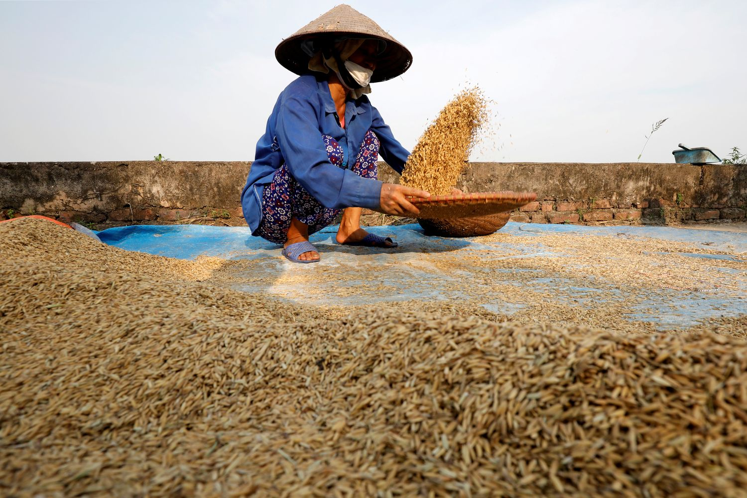 A farmer harvests rice by a paddy field outside Hanoi on June 10. (Reuters photo)