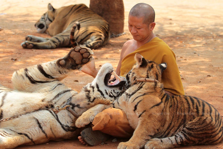 A monk gives a tiger a drink at Wat Pa Luangta Maha Bua in Kanchanaburi in 2015. (Bangkok Post file photo)