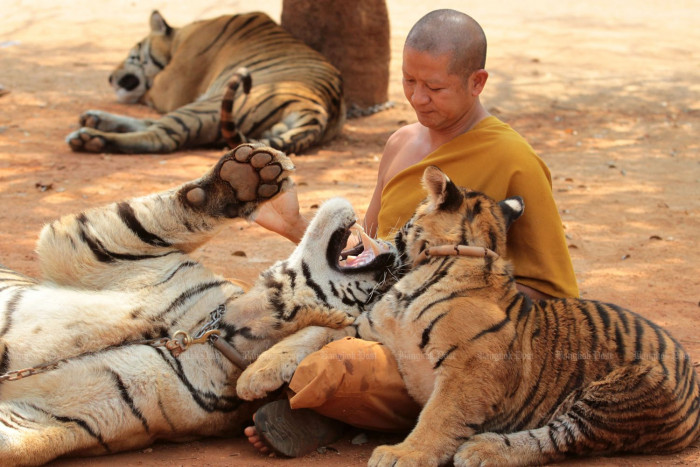 Half of tigers seized from temple have died
