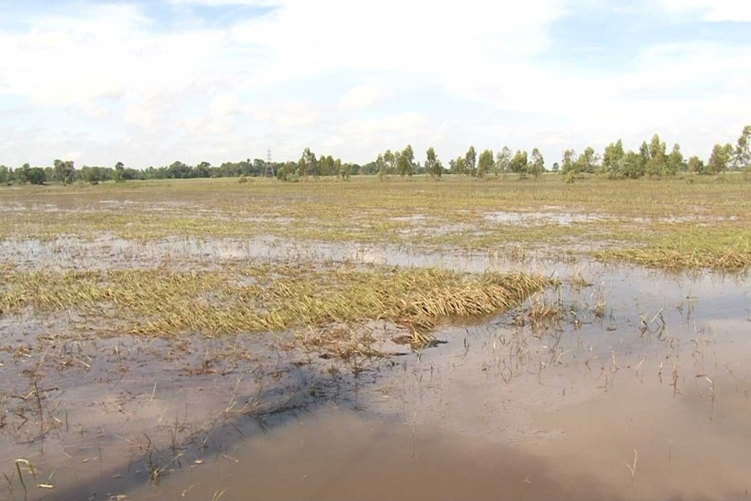 Many rice fields in Kalasin province are still under water, although water levels in the province are receding steadily. Flooding in this northeastern province has caused severe damage to farmland and livestock. (Photo by Yongyuth Phuphuangpet)