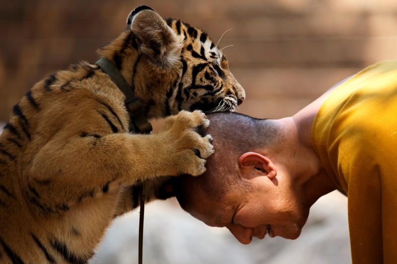A Buddhist monk plays with a tiger at the Wat Pa Luang Ta Bua, otherwise known as Tiger Temple, in Kanchanaburi province Feb 12, 2015. (Reuters photo)