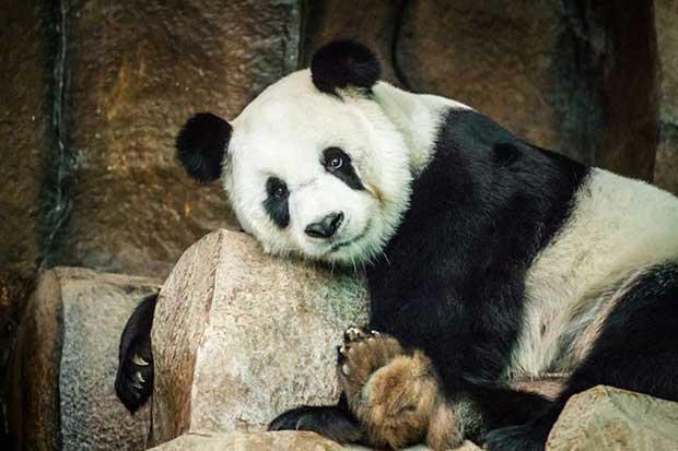 Panda Xuang Xuang died at Chiang Mai zoo on Monday. (Photo by Cheewin Sattha)