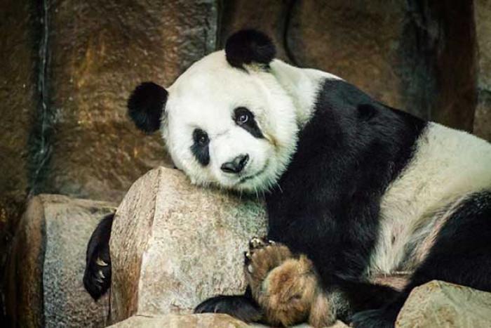 Panda Xuang Xuang dies at Chiang Mai zoo