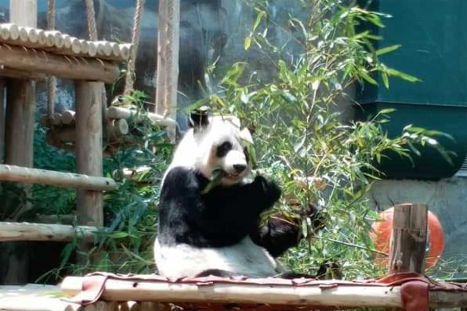 Female giant panda Lin Hui eats fruit and bamboo leaves at Chiang Mai zoo as usual on Tuesday, the day after her mate Xuang Xuang died. (Photo by Panumet Tanraksa)