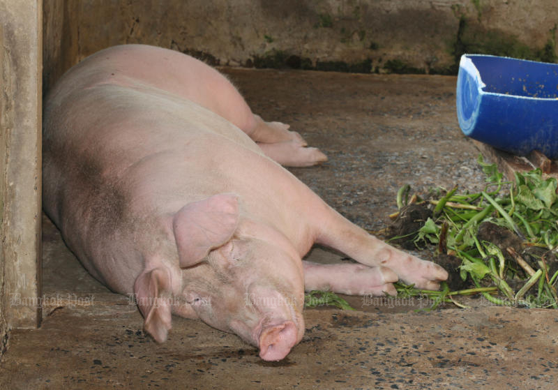 More than 200 pigs have been culled in Chiang Rai this week. (Bangkok Post file photo)