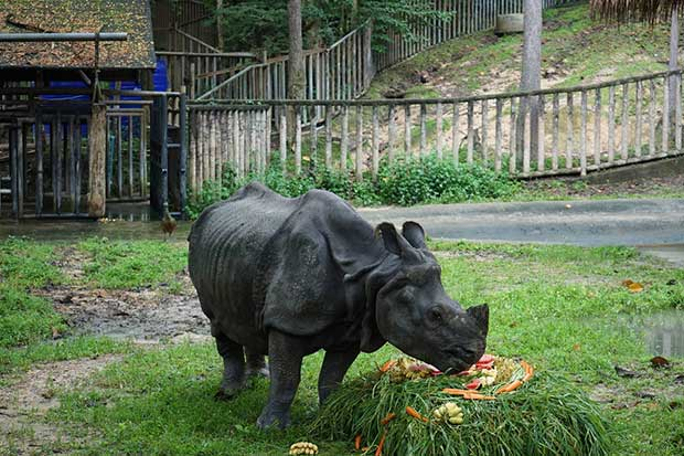 Kali, the only rhino at Chiang Mai Zoo, was given to the late King Bhumibol Adulyadej by the king of Nepal. (Photo by Panumet Tanraksa)