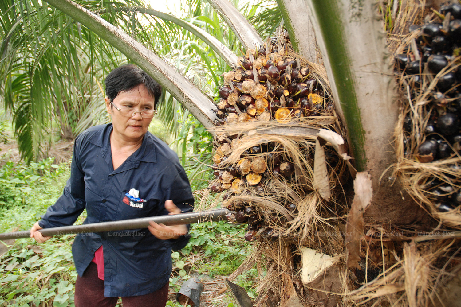 The price of domestic fresh palm nuts hit a two-decade low in April at 1.60-1.80 baht per kilogramme.(Bangkok Post photo)