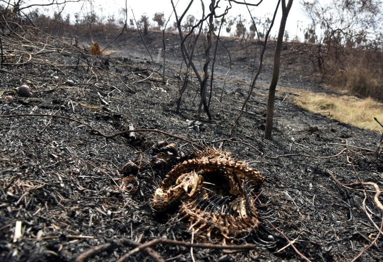 This snake could not escape the flames of a fire in the Otuquis National Park in eastern Bolivia.