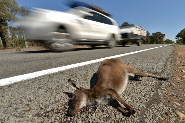 20 kangaroos run over in mass slaughter, Australian authorities say