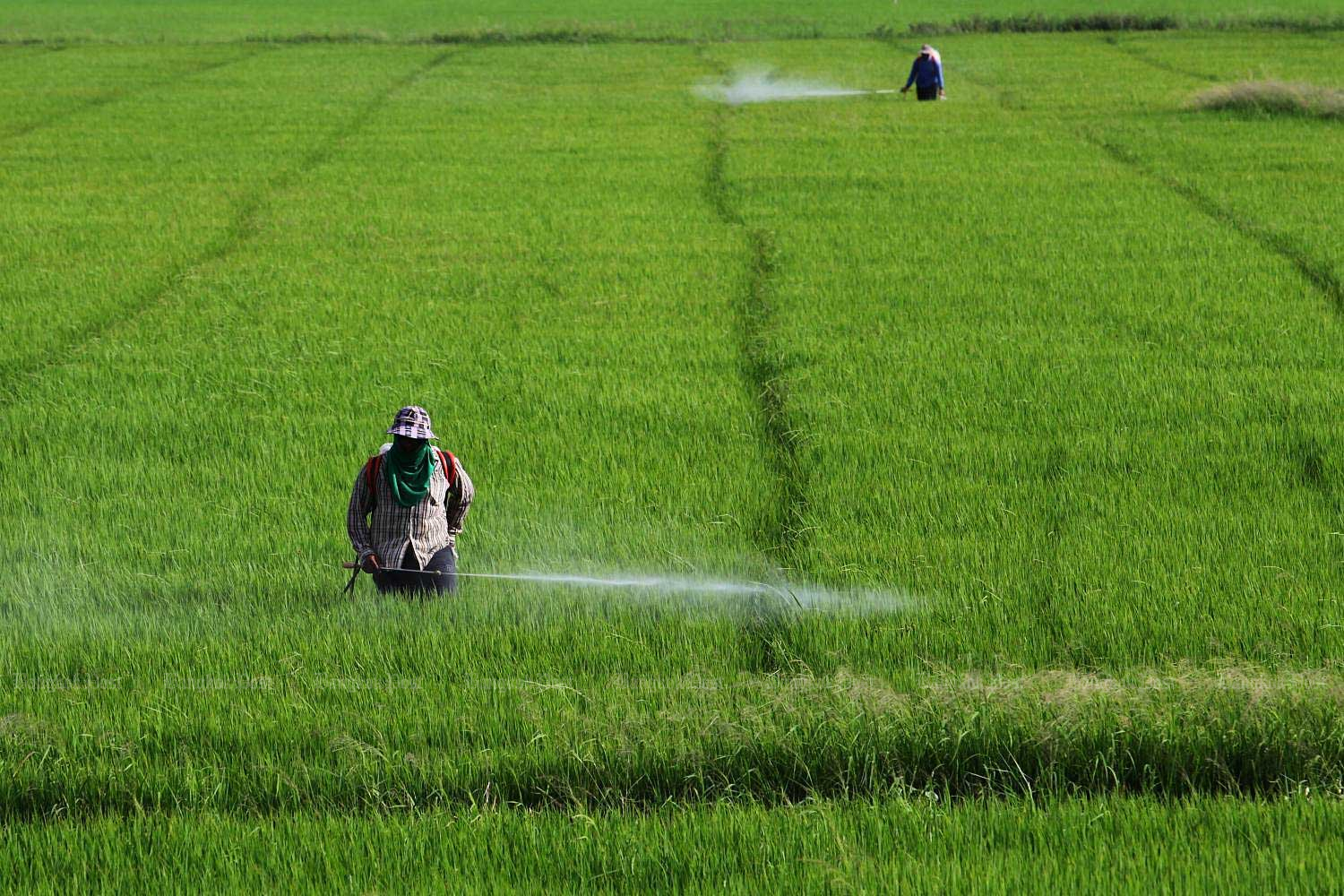 Farmers spray chemicals on a rice crop in Ayutthaya. (Bangkok Post file photo)