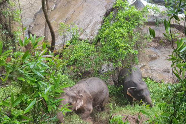 Two surviving elephants are seen exhausted after clambering out of a waterfall in Khao Yai National Park. (Photo from DnpReport Twitter account)
