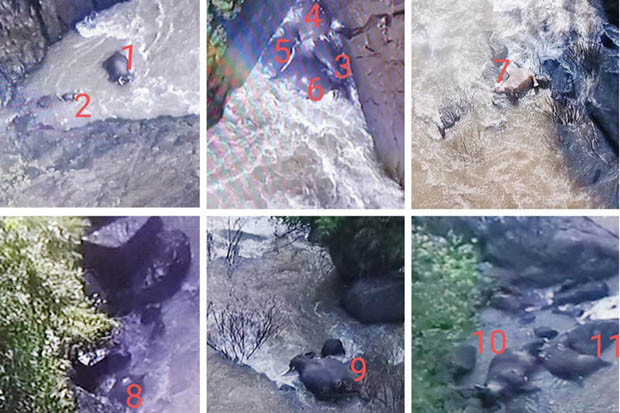 6 elephants die trying to save calf trapped in Thai waterfall