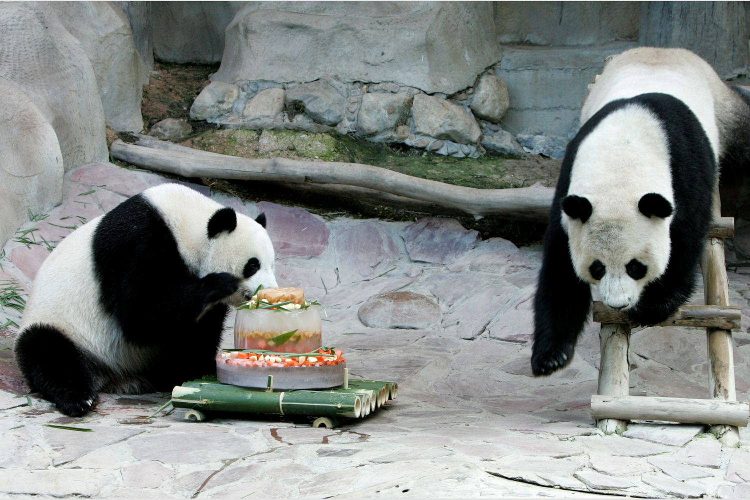 Giant pandas Lin Hui and Chuang Chuang play with an ice cake at Chiang Mai Zoo on Nov 9, 2005. (Reuters photo)