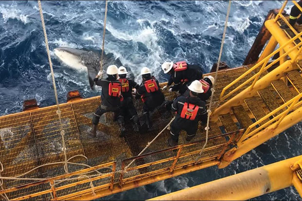 Six staff members from Chevron Thailand Exploration and Production working on a platform in the Erawan offshore field helped cut a rope tied to the tail of a whale shark. (Photo from Nat Panupong Taps Facebook page)