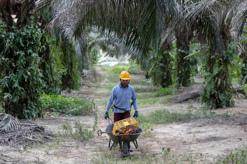 A worker collects palm oil fruits at a plantation in Bahau, Negeri Sembilan, Malaysia January 30, 2019. Picture taken Jan 30, 2019. (Reuters file photo)