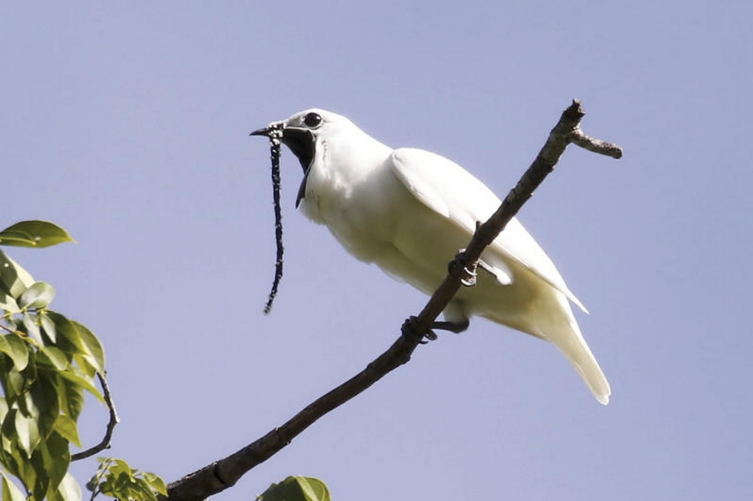 The male white bellbird, which has just beaten out its rainforest neighbour, the screaming piha, for the title of the world's loudest bird, according to a new paper published in the journal Current Biology on Oct 21. (Photo and video: Anselmo d'Affonseca)